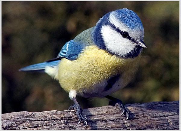 Синица лазоревка